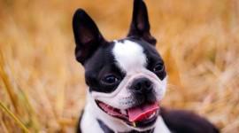 Boston Terrier Desktop Wallpaper HD