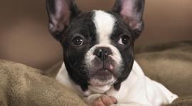 Boston Terrier Photo Download#1