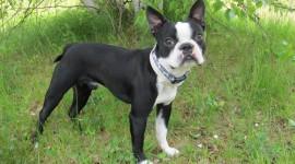Boston Terrier Photo Free