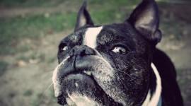 Boston Terrier Photo Free#2