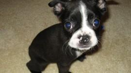 Boston Terrier Photo#1