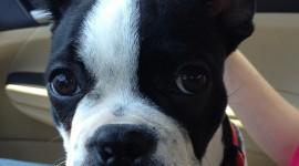 Boston Terrier Wallpaper For Android#1