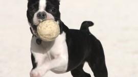 Boston Terrier Wallpaper For Mobile