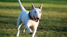 Bull Terrier Best Wallpaper