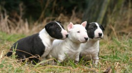 Bull Terrier Photo Download