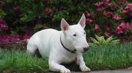 Bull Terrier Photo Free#1
