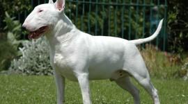 Bull Terrier Photo#1