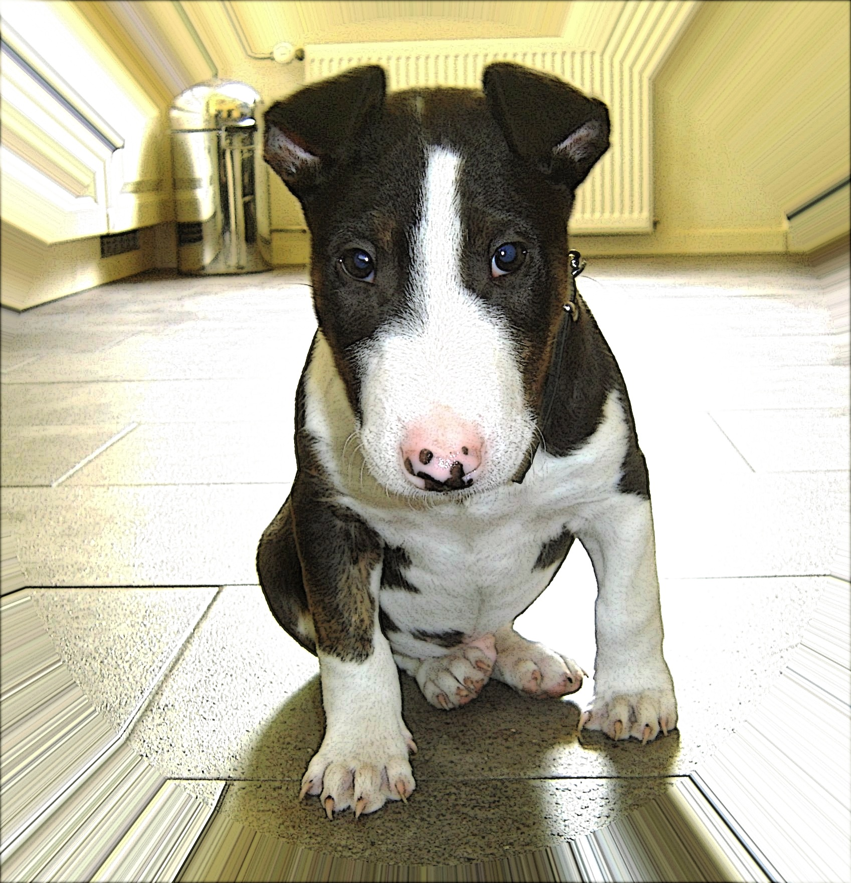 bull terrier wallpapers high quality download free