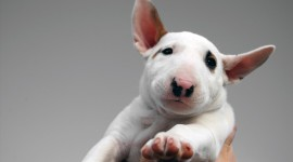 Bull Terrier Wallpaper Free