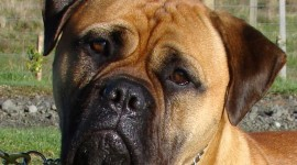 Bullmastiff Desktop Wallpaper