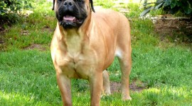 Bullmastiff Desktop Wallpaper For PC