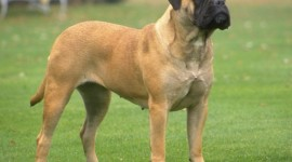 Bullmastiff Desktop Wallpaper HD