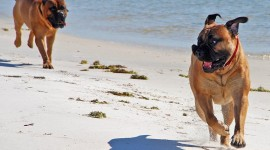 Bullmastiff Photo Free