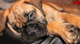 Bullmastiff Wallpaper 1080p