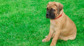 Bullmastiff Wallpaper Download