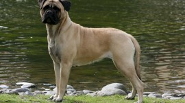 Bullmastiff Wallpaper Download Free