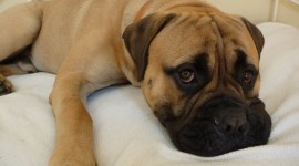 Bullmastiff Wallpaper For PC