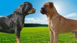Bullmastiff Wallpaper Gallery