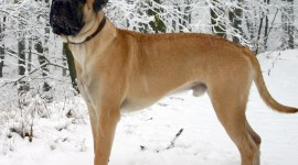 Bullmastiff Wallpaper HQ
