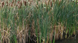 Bulrush Wallpaper For Desktop