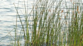 Bulrush Wallpaper For IPhone Free
