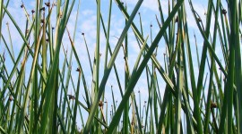 Bulrush Wallpaper Free