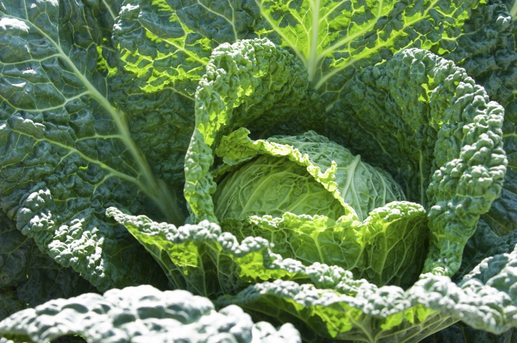 Cabbage wallpapers HD