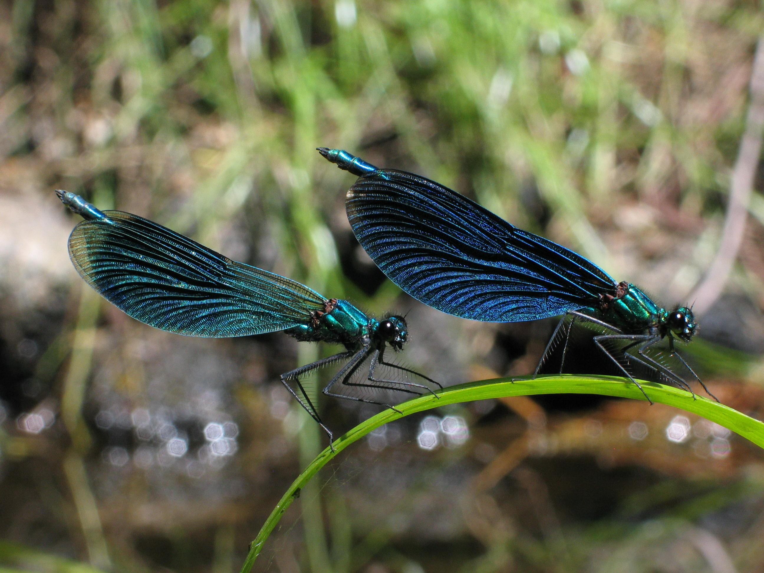 Calopteryx Virgo Wallpapers High Quality   Download Free