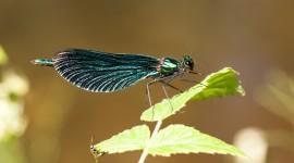 Calopteryx Virgo Photo Download