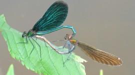 Calopteryx Virgo Photo Download#1