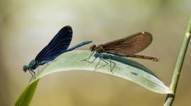 Calopteryx Virgo Photo Free#2