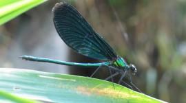Calopteryx Virgo Photo#1
