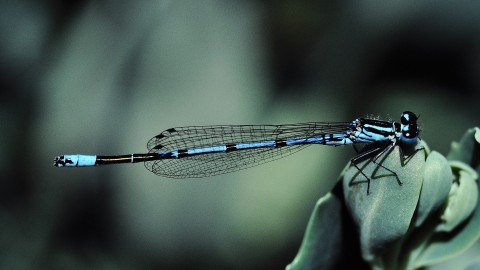 Coenagrion wallpapers high quality
