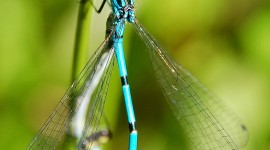 Coenagrion Wallpaper For Android