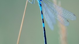 Coenagrion Wallpaper For IPhone
