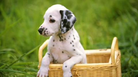 Dalmatian wallpapers high quality