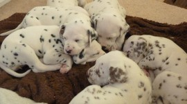 Dalmatian Cute Puppies Photos