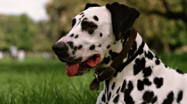 Dalmatian Photo Download