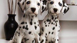 Dalmatian Wallpaper Download