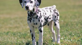 Dalmatian Wallpaper Download Free