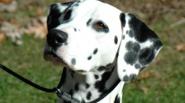 Dalmatian Wallpaper For PC