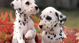Dalmatian Wallpaper Full HD