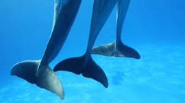 Dance Of The Dolphins Photo