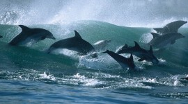 Dance Of The Dolphins Photo#1