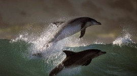 Dance Of The Dolphins Wallpaper For PC