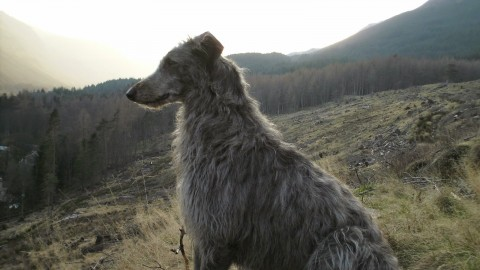 Deerhound wallpapers high quality