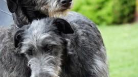 Deerhound Photo Download