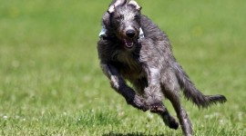 Deerhound Wallpaper For PC