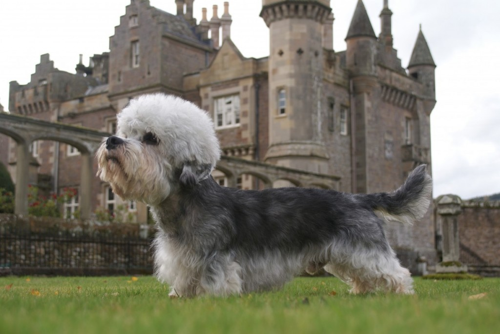 Dinmont Terrier wallpapers HD