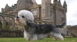 Dinmont Terrier Best Wallpaper